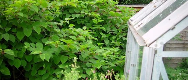 Effective Ways To Deal With The Japanese Knotweed